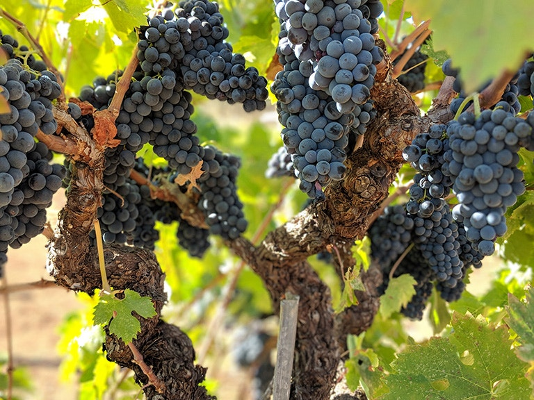 Rockpile Zinfandel Grapes ready for harvest